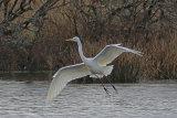 34433AC Great White Egret
