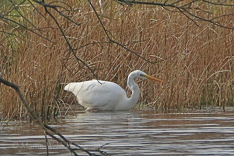 34449AC Great White Egret