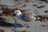 34483AC Herring Gull