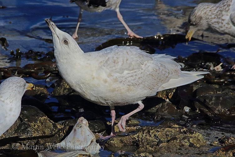 34499AC Iceland Gull