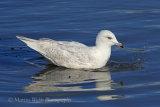 34523AC Iceland Gull