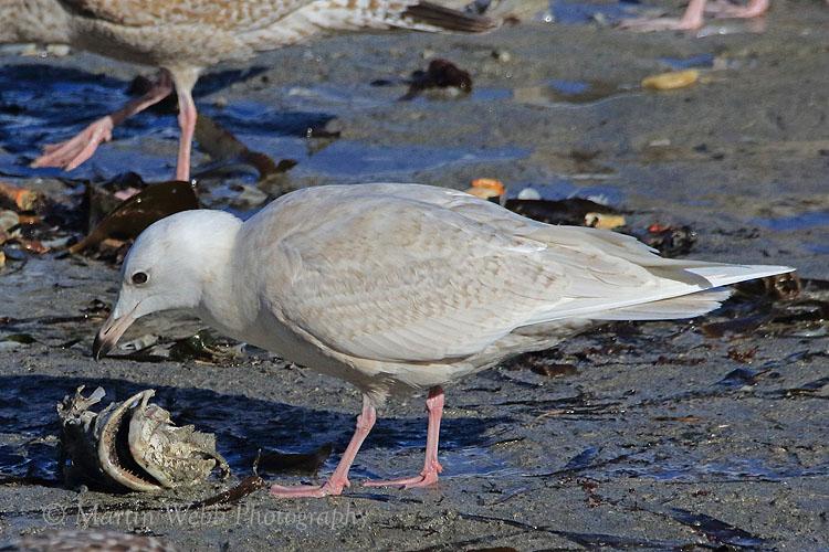 34545AC Iceland Gull