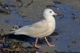 34546AC Iceland Gull