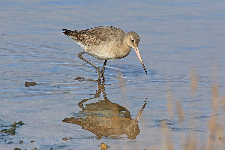 34650AC Black-tailed Godwit