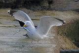 34700AC Herring Gull