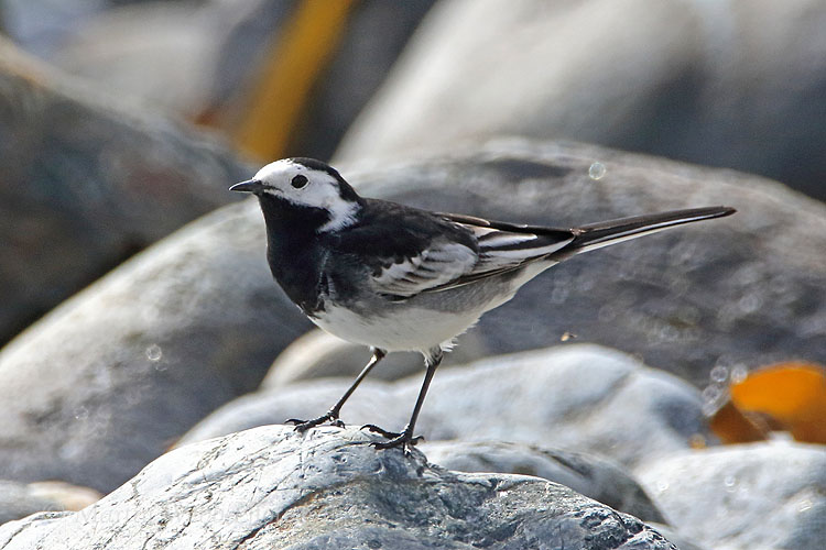 34733AC Pied Wagtail