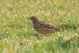 34762AC Meadow Pipit