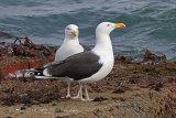 35054AC Great Black-backed Gull