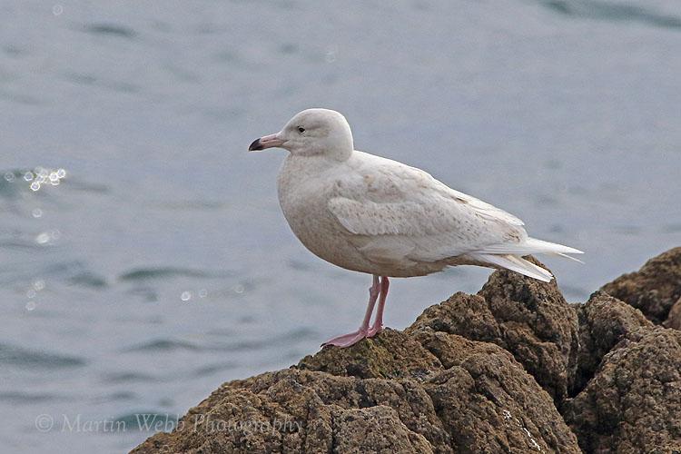 35056AC Glaucous Gull