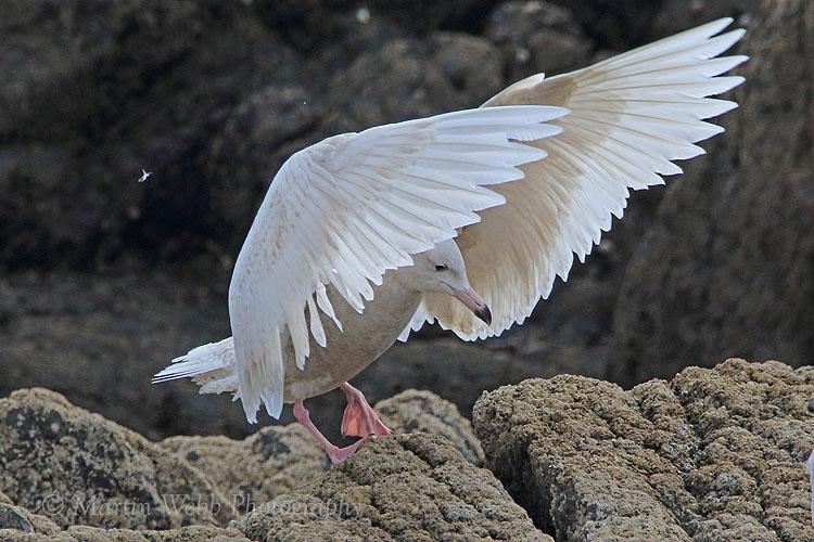 35066AC Glaucous Gull
