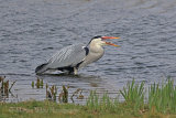 35186AC Grey Heron