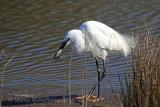 35290AC Little Egret