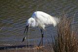35291AC Little Egret