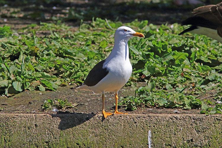 35538AC Lesser Black-backed Gull
