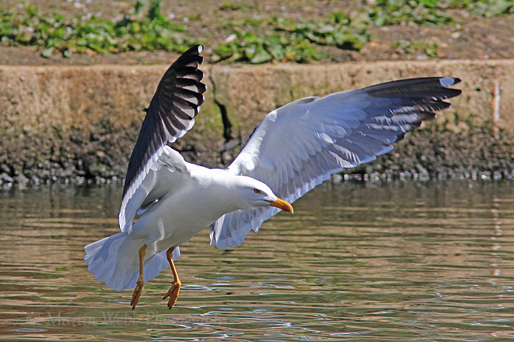 35541AC Lesser Black-backed Gull