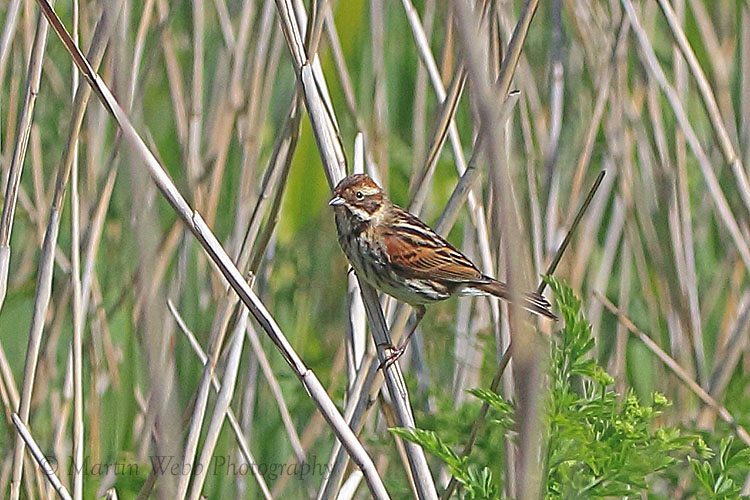 35748AC Reed Bunting