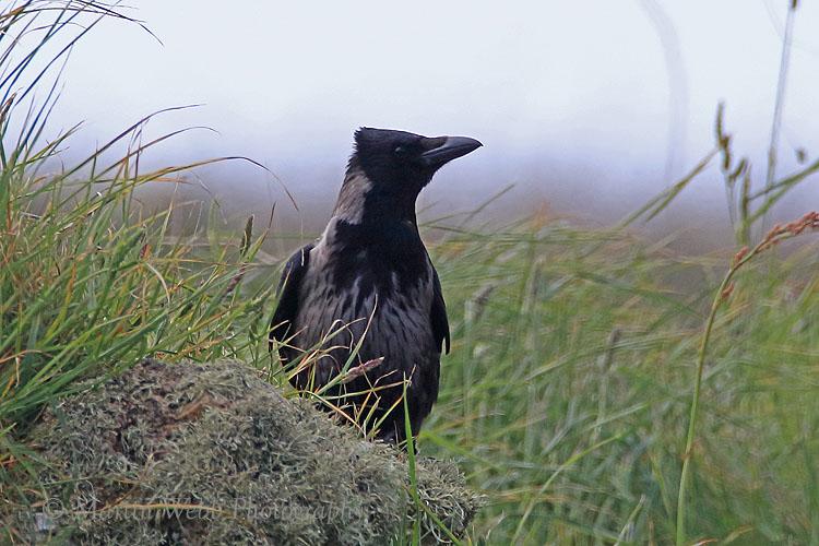 35803AC Carrion/Hooded Crow Hybrid