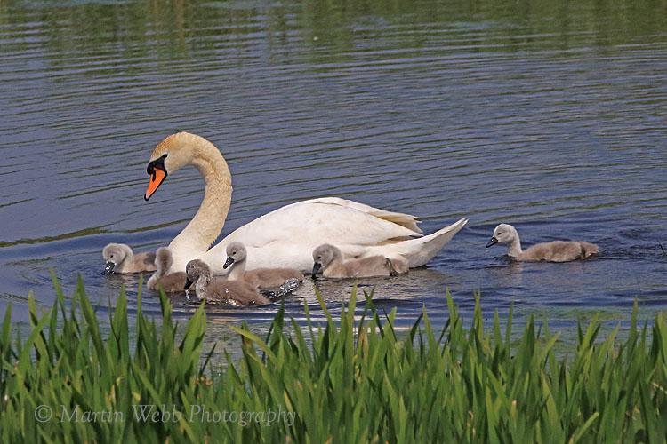 35842AC Mute Swan