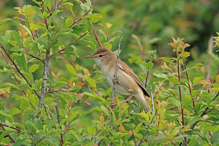 36171AC Reed Warbler
