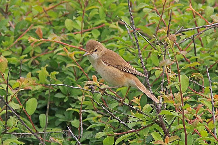 36175AC Reed Warbler