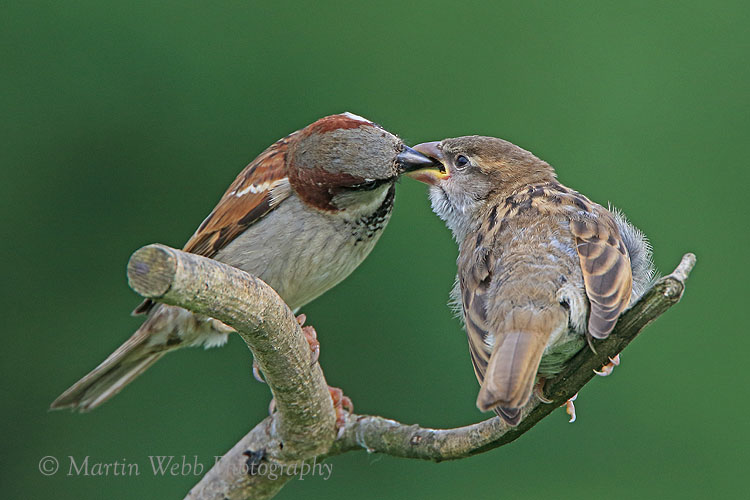 36206AC House Sparrow