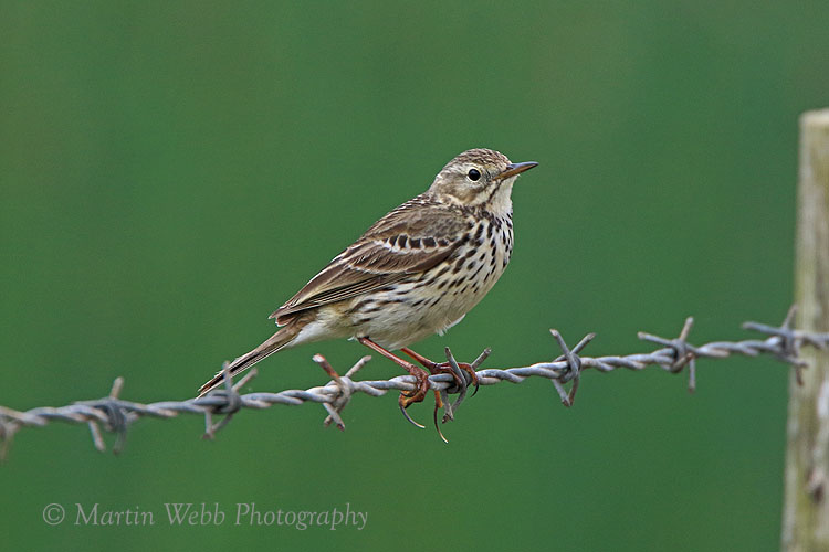 36297AC Meadow Pipit