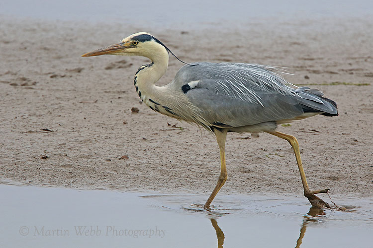 36369AC Grey Heron