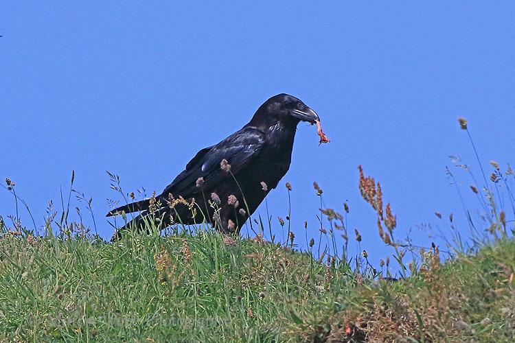 36611AC Raven