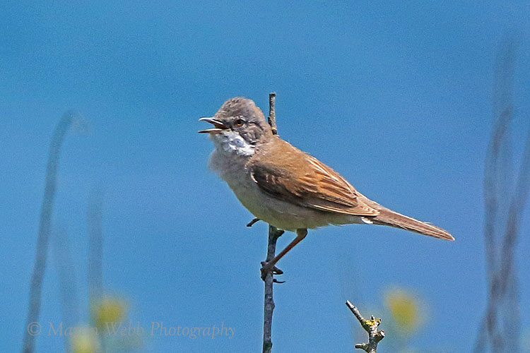 36648AC Whitethroat