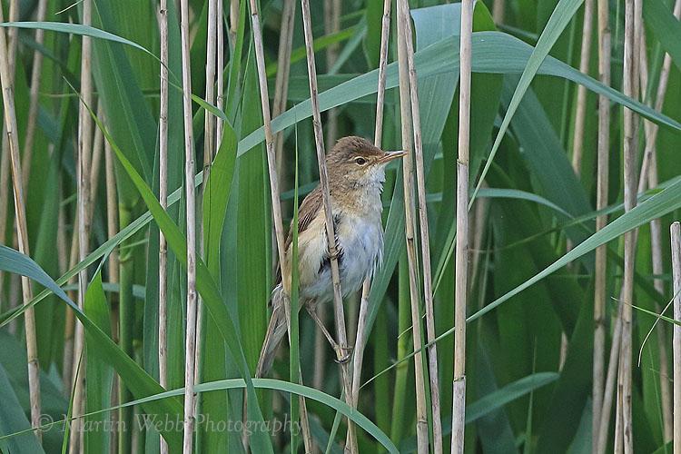 36711AC Reed Warbler