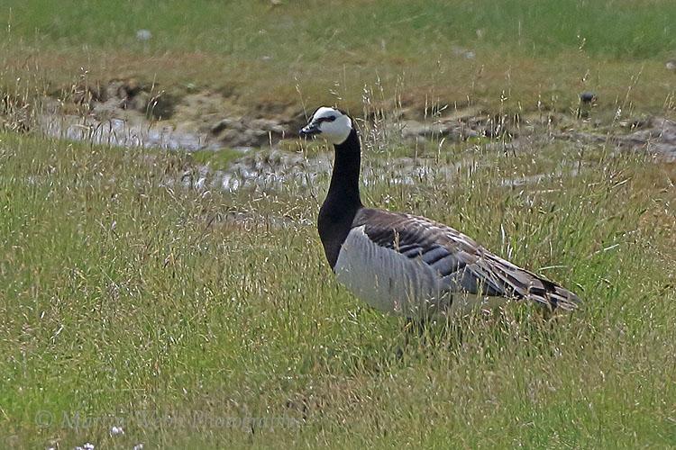 36715AC Barnacle Goose