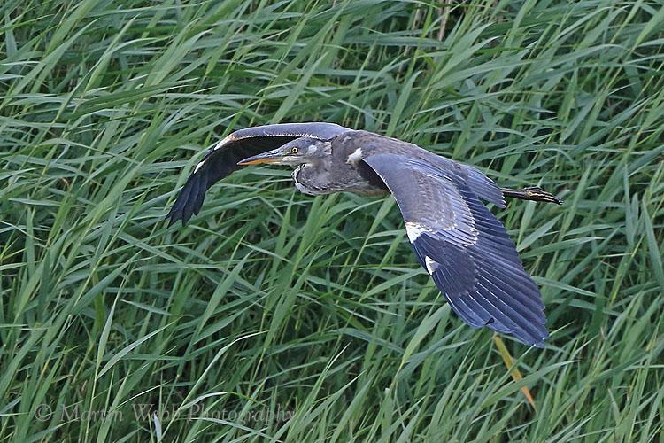 36773AC Grey Heron
