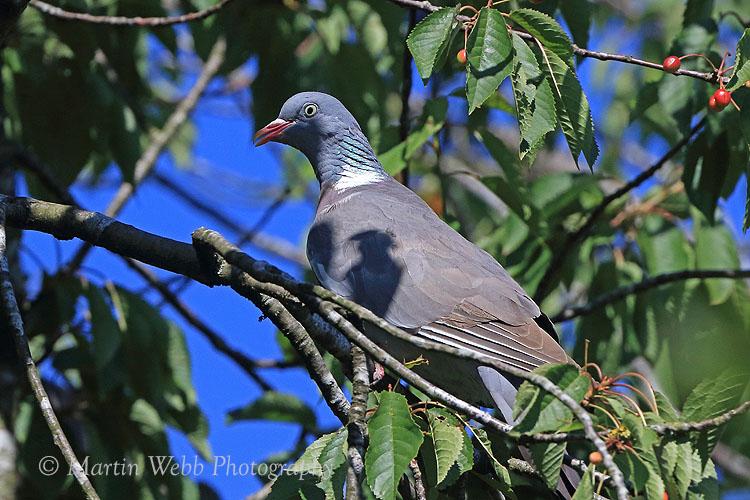 36857AC Woodpigeon