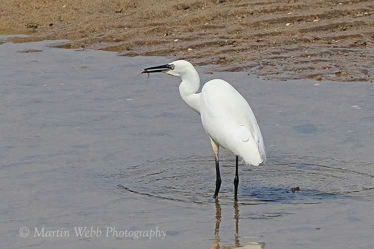 36923AC Little Egret