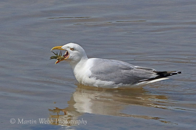 36938AC Herring Gull