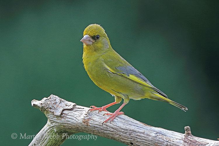 37020AC Greenfinch