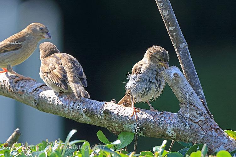 37193AC House Sparrow