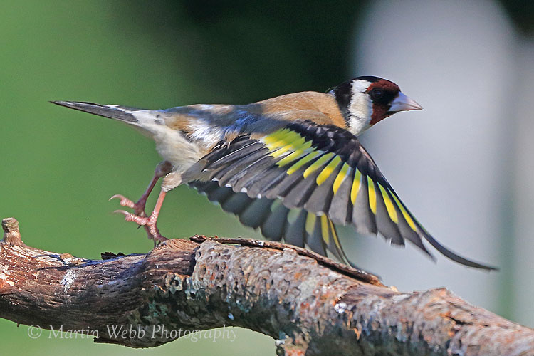 37219AC Goldfinch