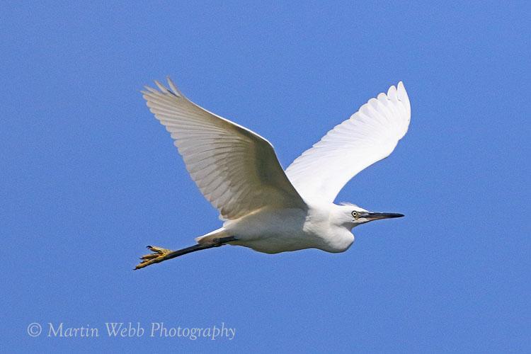 37301AC Little Egret