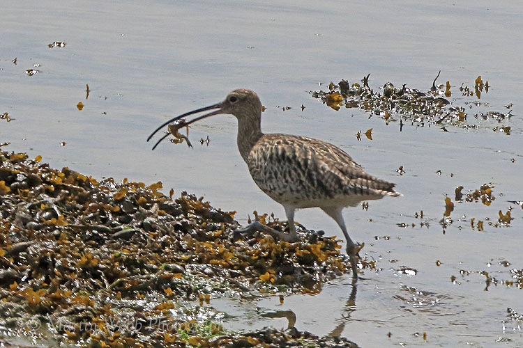 37472AC Curlew