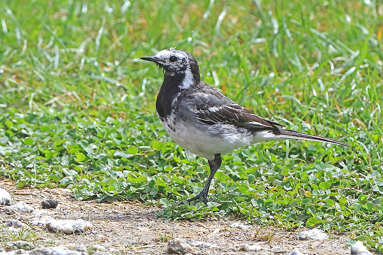 38059AC Pied Wagtail