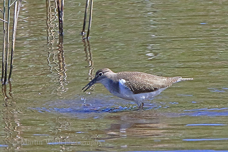 38081AC Common Sandpiper