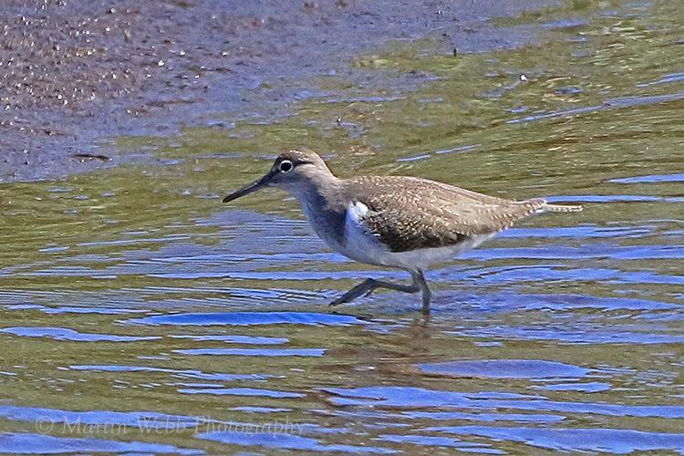 38089AC Common Sandpiper