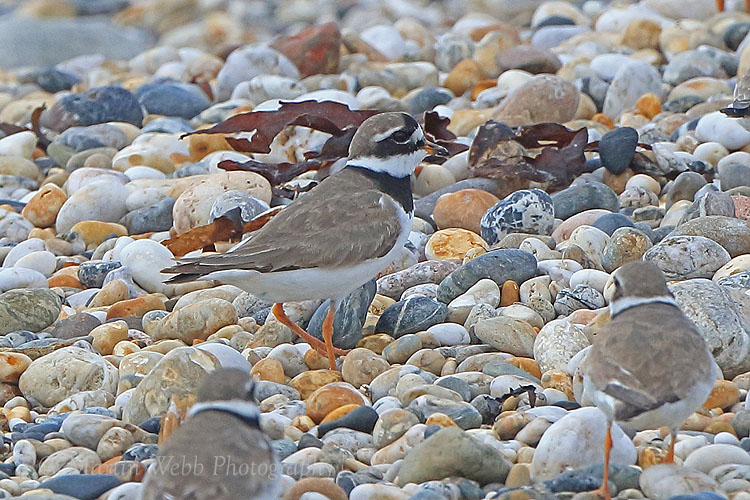 38115AC Ringed Plover