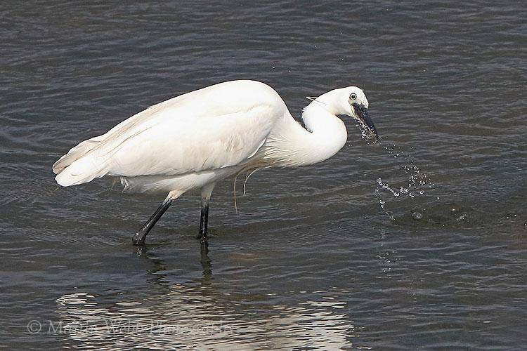 38146AC Little Egret