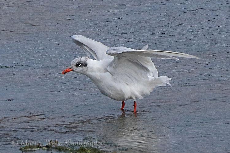 38161AC Mediterranean Gull