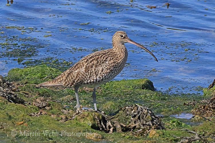 38298AC Curlew