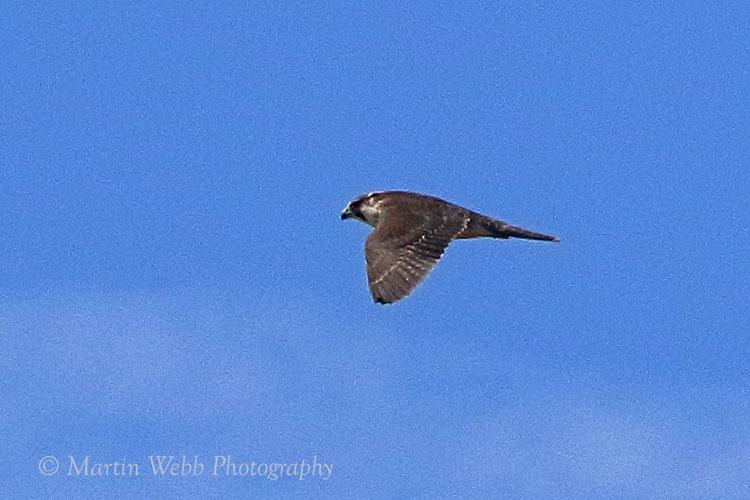 38300AC Peregrine Falcon