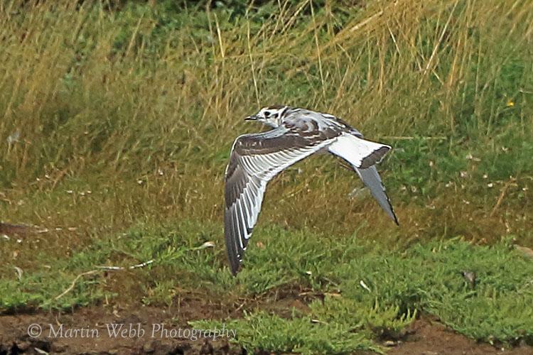 38401AC Little Gull