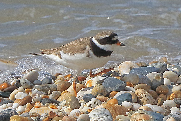 38588AC Ringed Plover